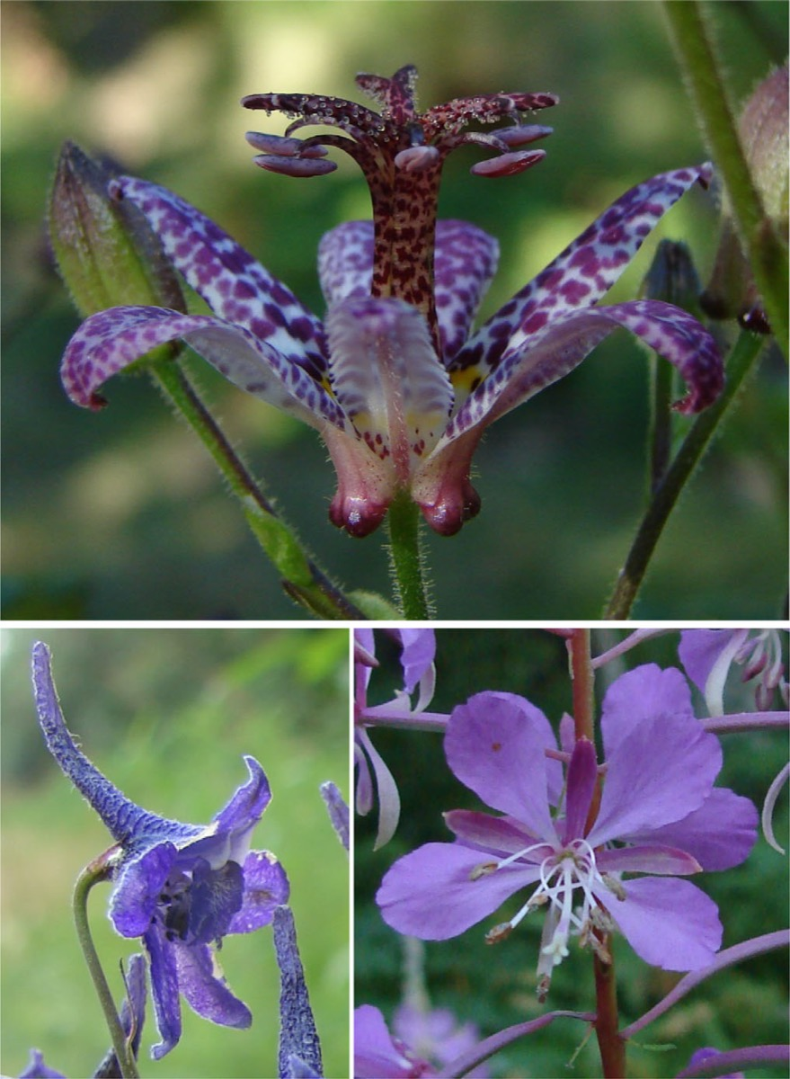 three different images each with a different species of purple flower