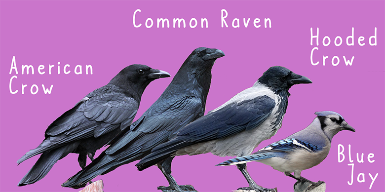 Image showing four different corvids, the American Crow, Common Raven, Hooded Crow, and Blue Jay