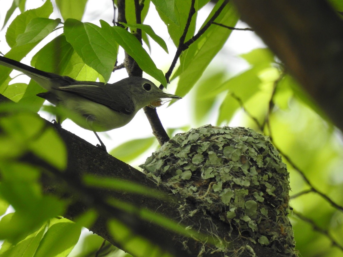 a small green-looking bird under a leafy tree next to a puffy round nest of leaves