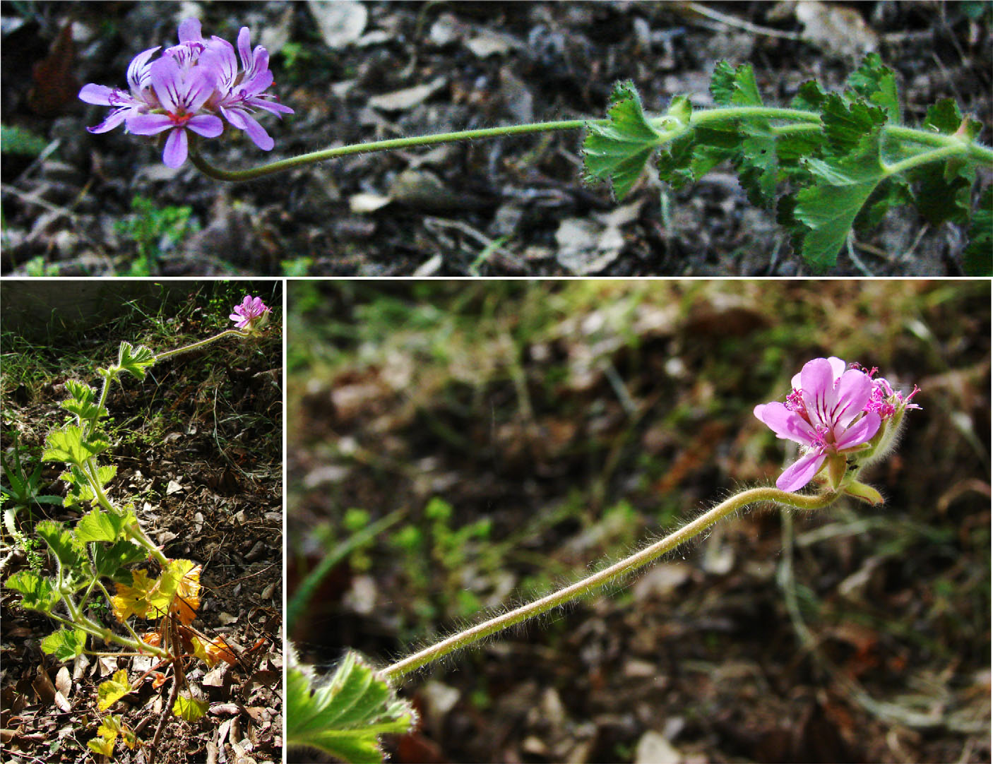 three images of pink and purple flowers. they are bent horizontally but the buds all reorient up