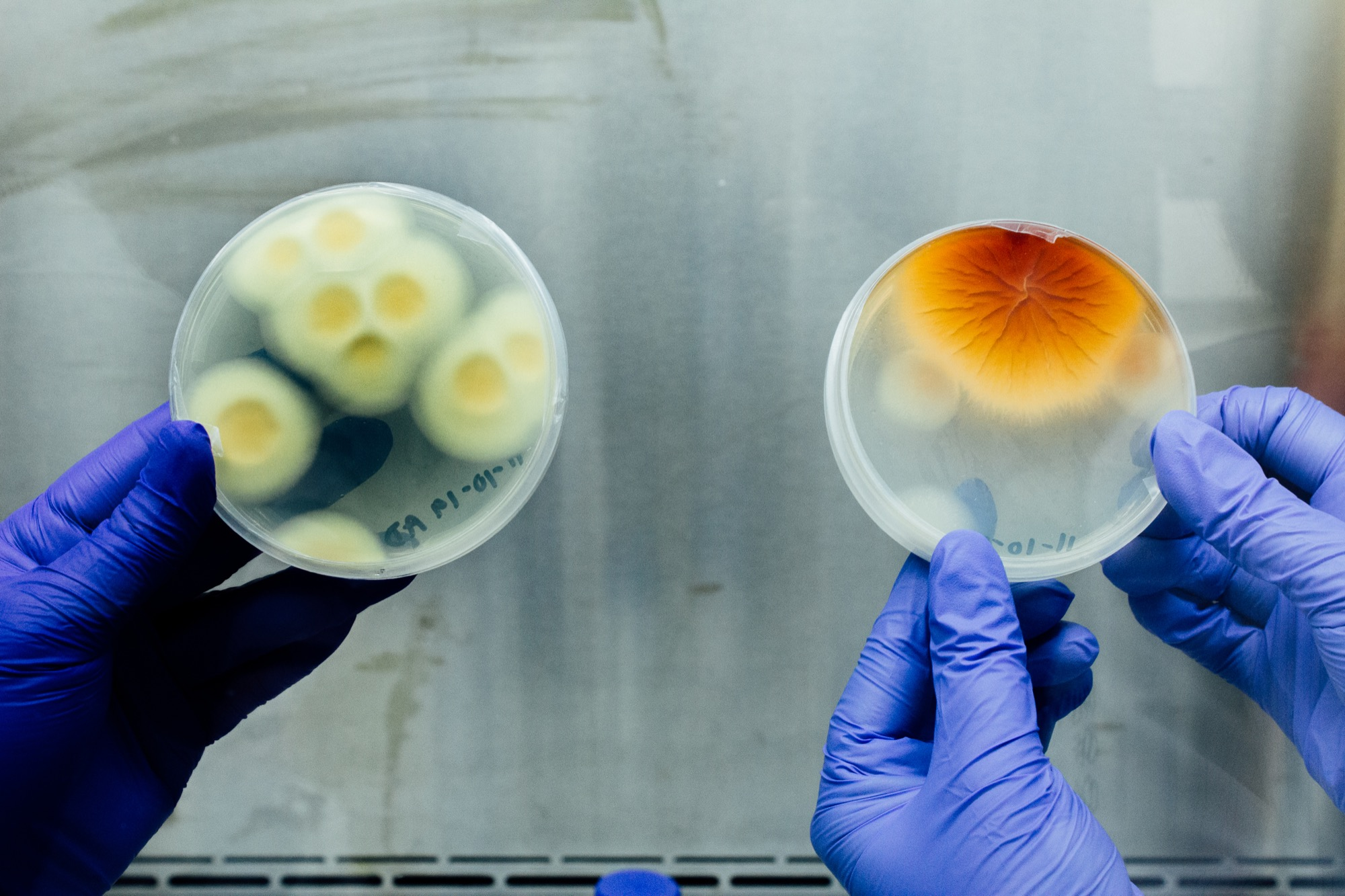 hands holding up two petri dishes, one filled with white and yellow spores and the other with a blooming yellow and orange spore