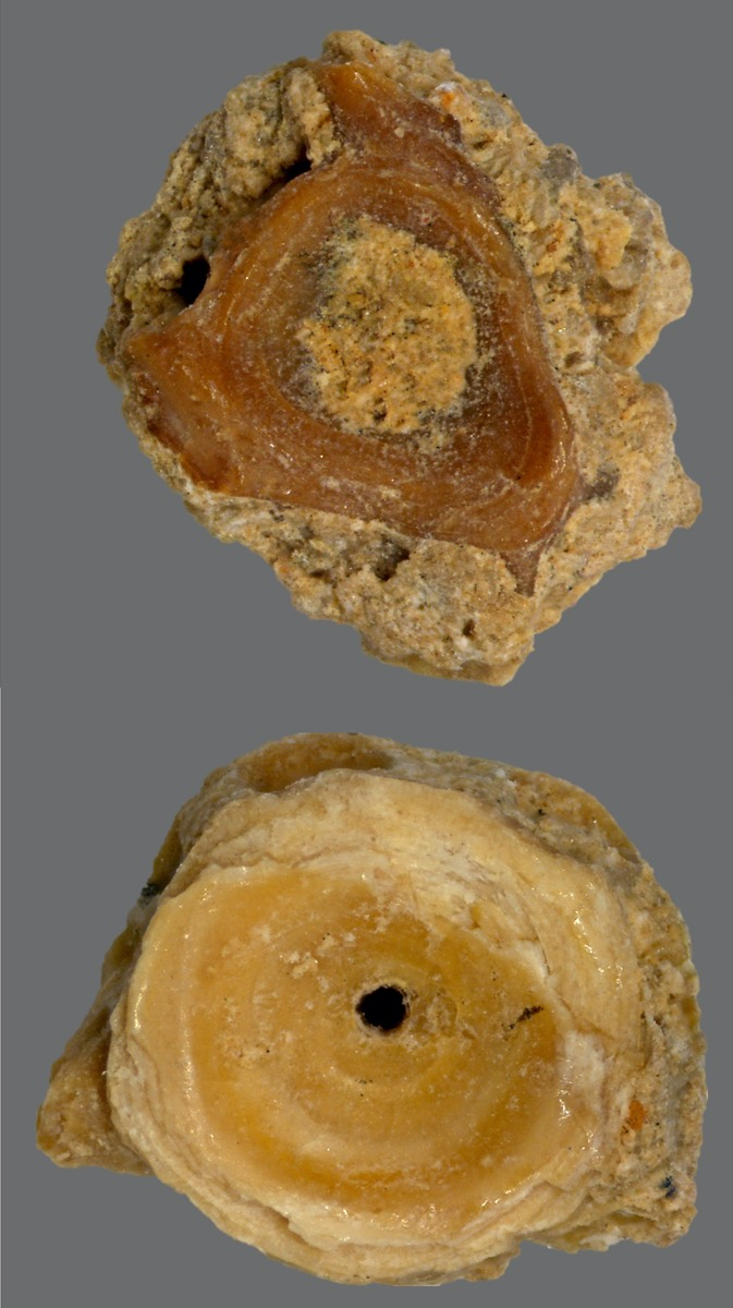 fossils of eel vertebraes, which appear are circular discs