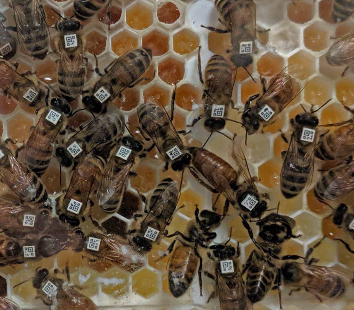 a colony of honey bees on a honeycomb. all the bees have little barcodes on their backs