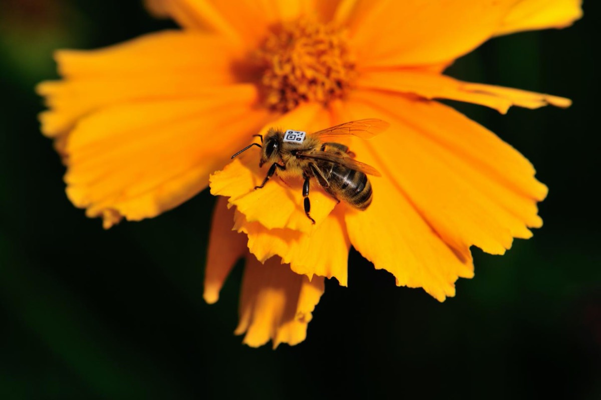 a honey bee with a square barcode on its back on an orange flower