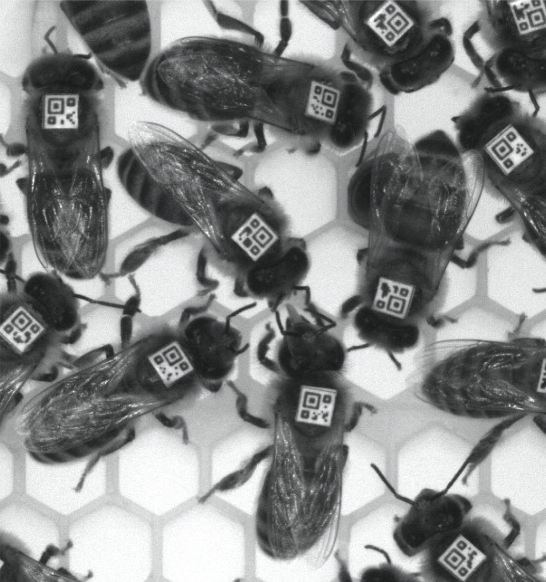 black and white photo of honey bees. they all have little square barcodes on their backs