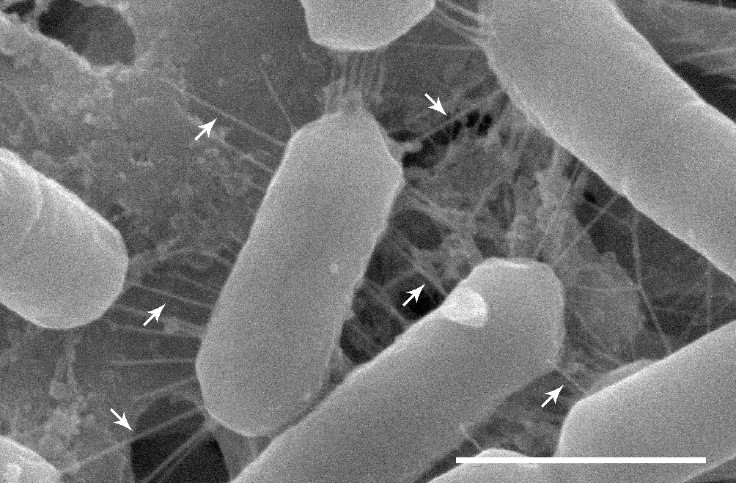 a black and white microscope image of cylinder shaped bacteria