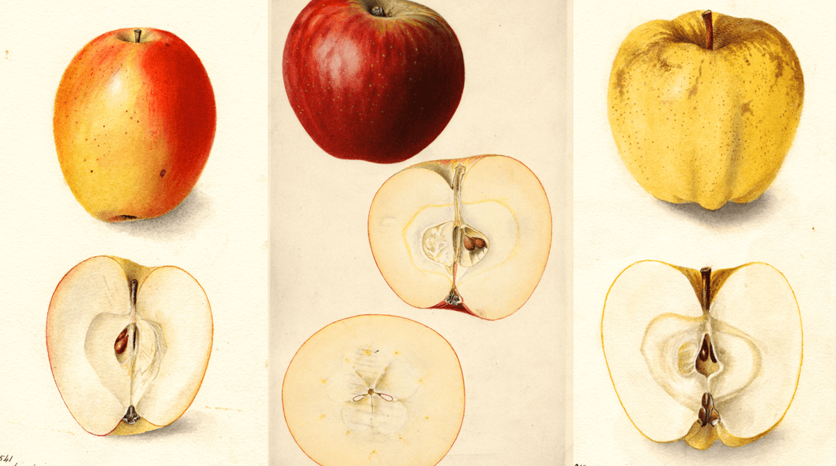 three watercolor paintings of apples that each show the apples cut in half. on the left is a orange-red apple. in the middle is a bright red apple. on the right is a yellow apple speckled brown