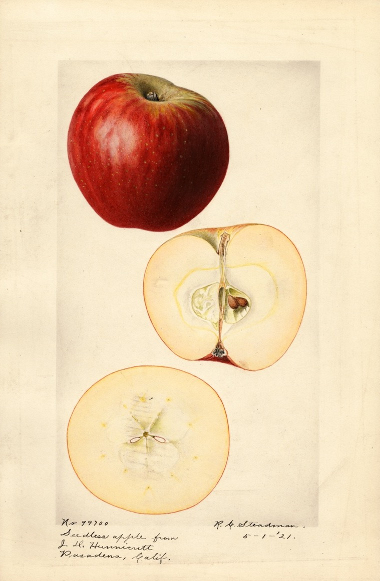 watercolor of a bright red apple. below are two views of the apple cut in half