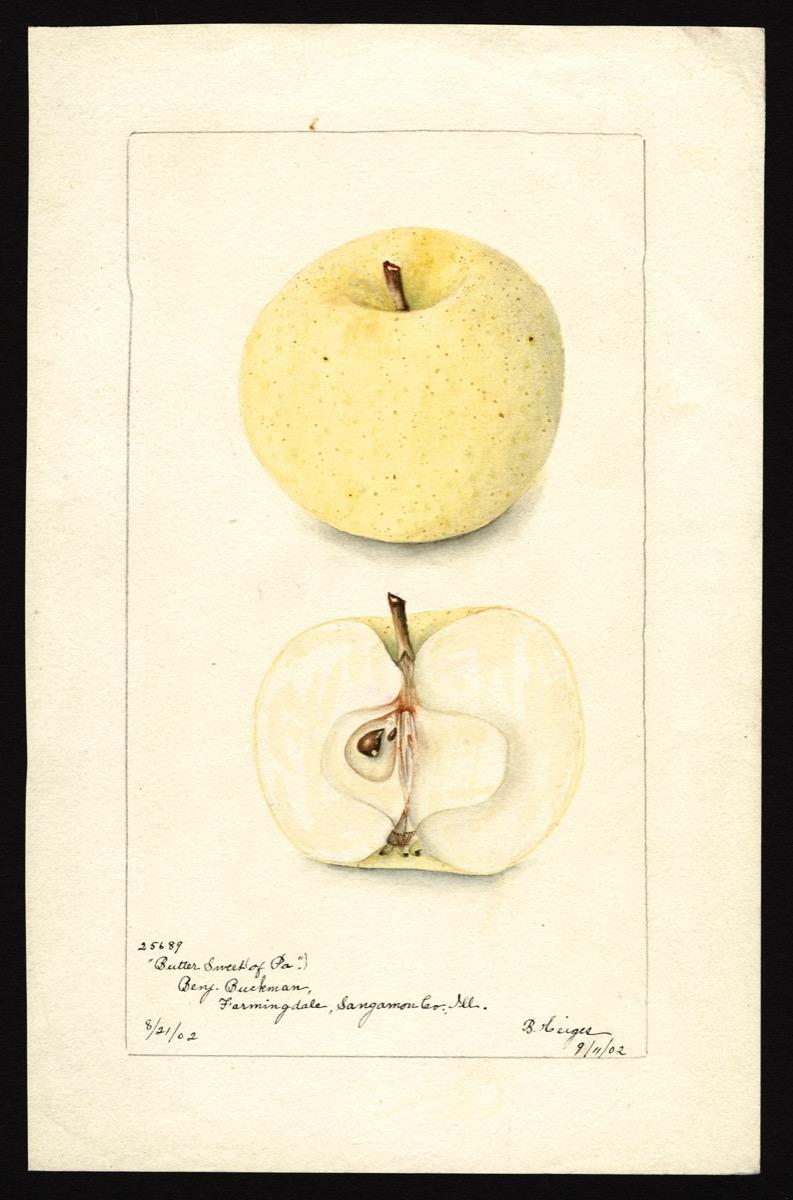 watercoloring of a creamy, beige apple. below it's sliced in half revealing its core