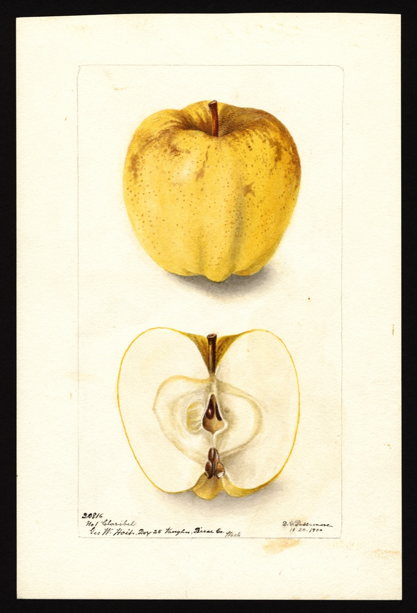 watercoloring of a yellow apple with speckles of brown. below is the apple cut in half showing its core