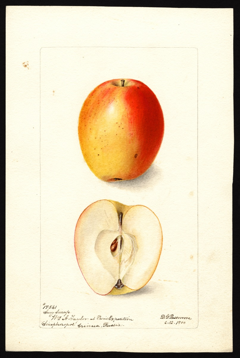 watercoloring of a bright orange and yellow apple that is slightly narrow in shape. below it is shown cut in half, showing its core and seeds