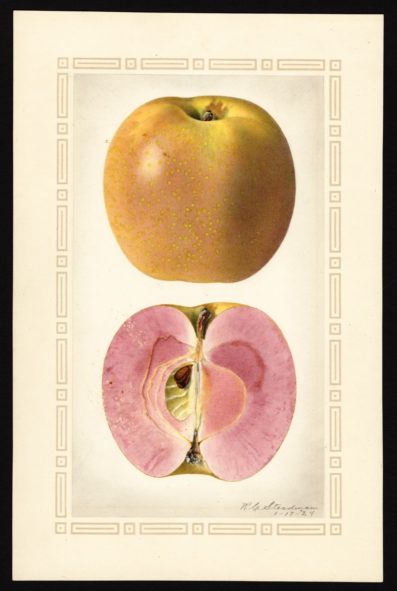 watercoloring of an apple with a purple, greenish skin. below it's shown sliced in half. it reveals pink flesh and its core