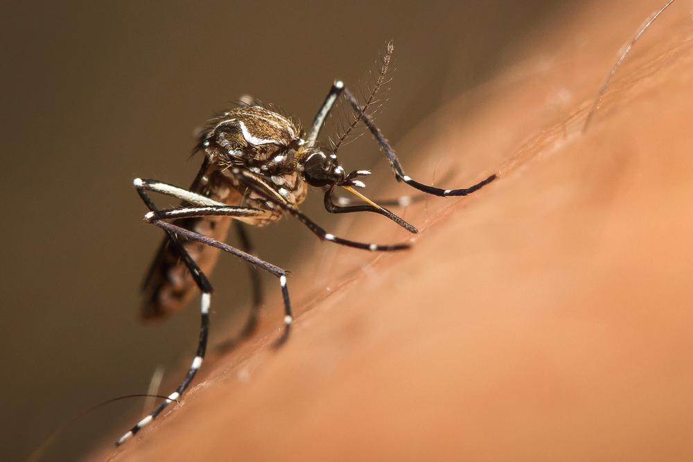 a mosquito biting into human skin