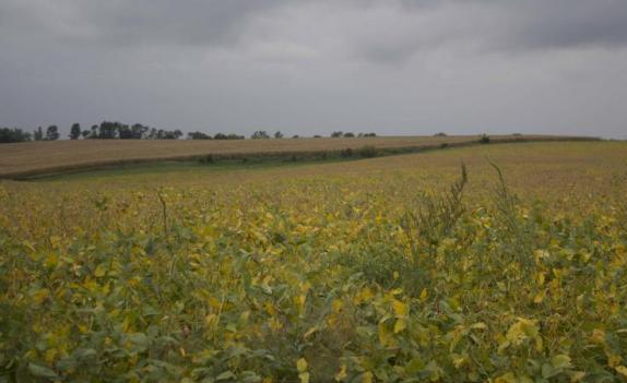 a green field of soybeans under an overcast sky