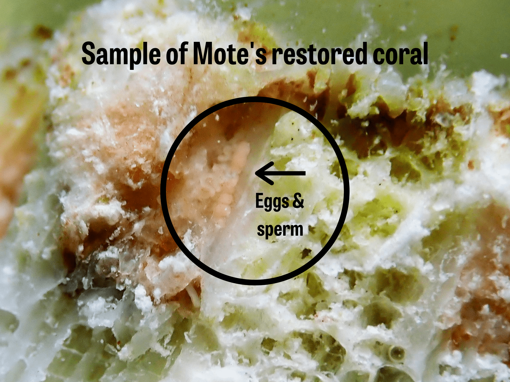 Closeup of restored coral with a circle noting where the egg and sperm are visible