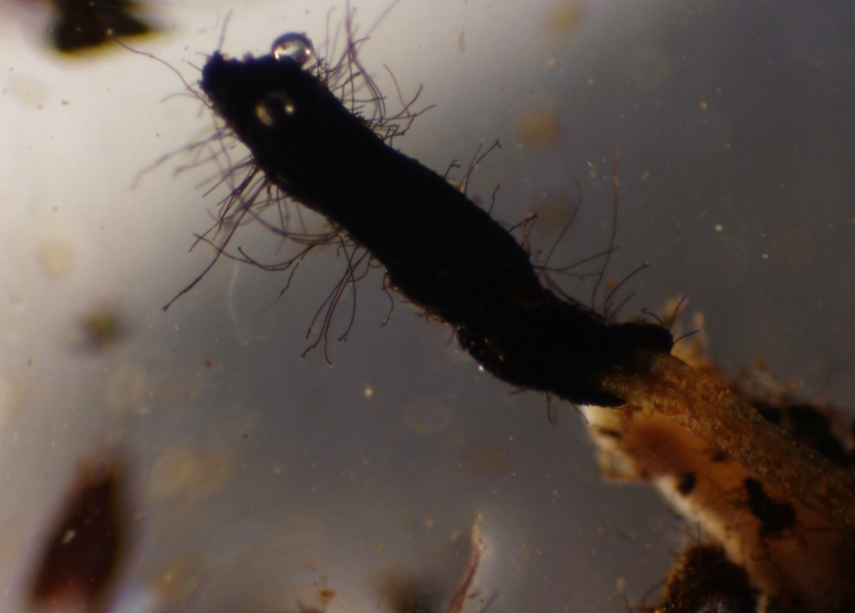 a close up under a microscope of a brown fungus with small mycelium stringing off of it