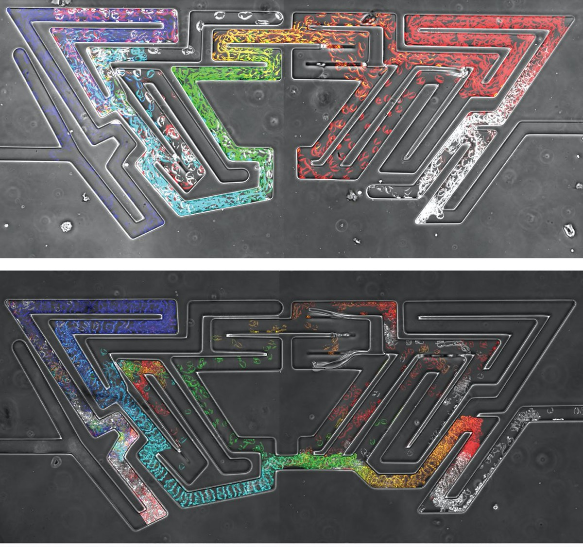 two photos of a maze with colorful networks of cells growing through it - they are solving the maze