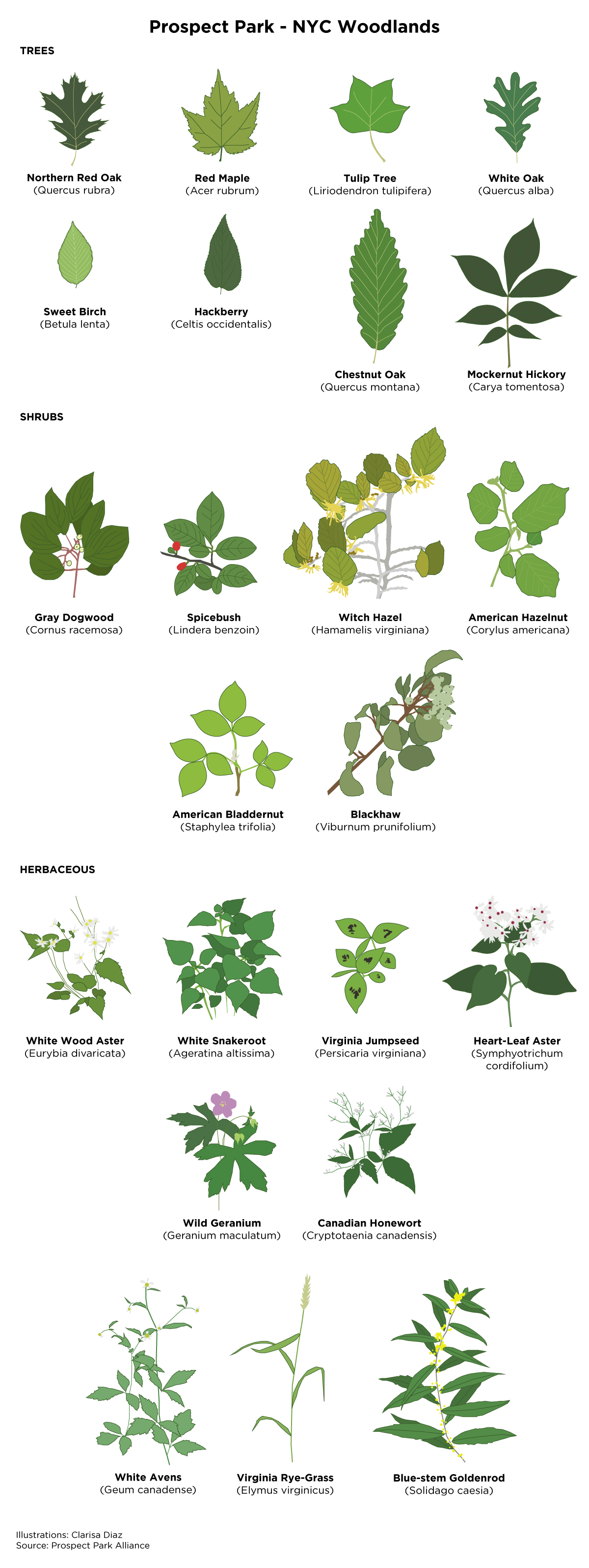 a list of different species of leafs from trees in prospect park