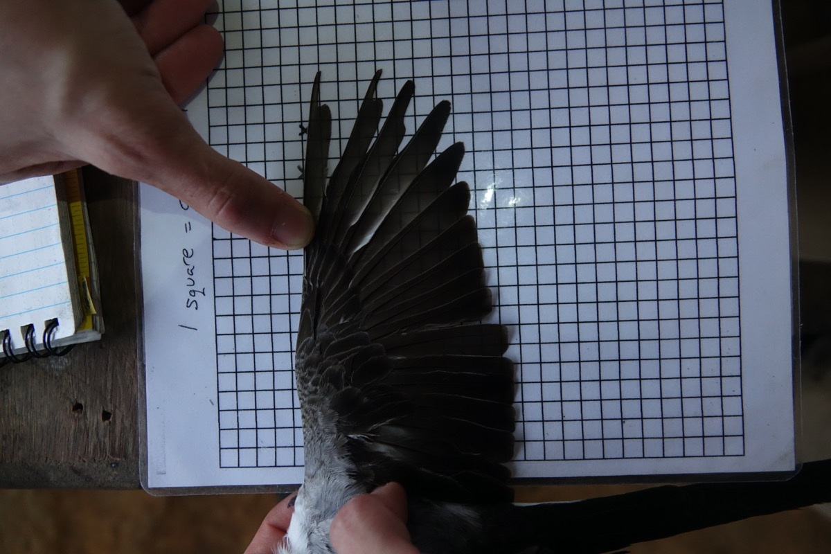 the wing of a bird splayed out over grid paper