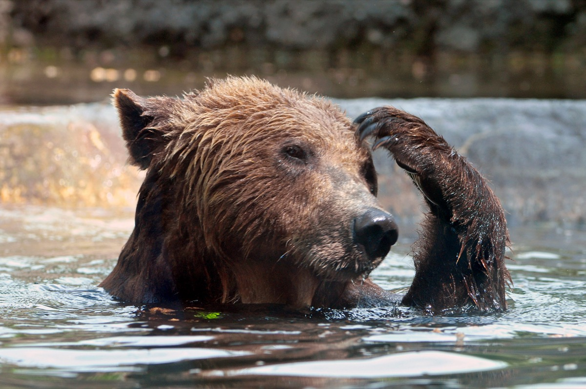 a brown bear in the water raising one of its fore paws to scratch its head
