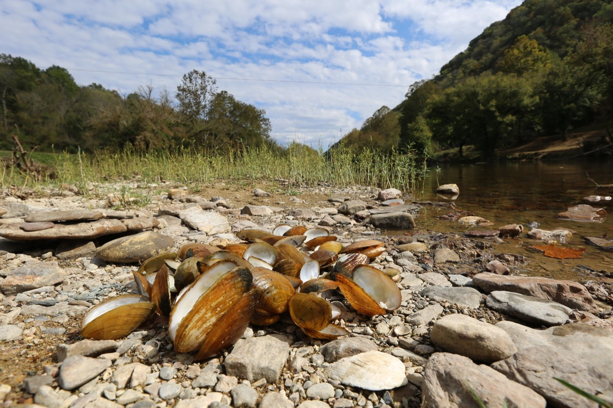 a pile of mussels in their shells on the banks of a river. they are all dead