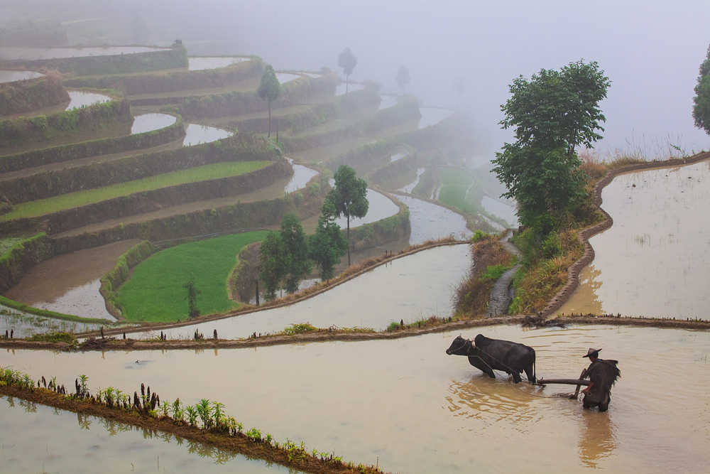 Asian farmer working with a buffalo on terraced rice field in China