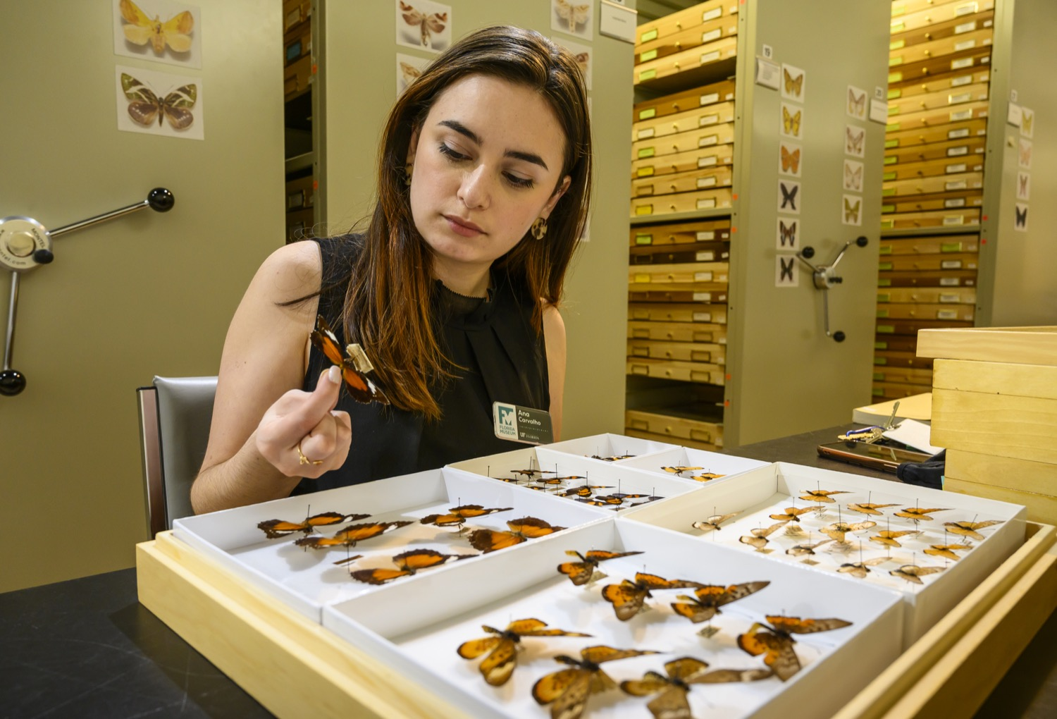 a female latinx researcher holds a pinned butterfly and examines its abdomen. she is sitting across a large collection box of preserved butterfly specimens in a museum