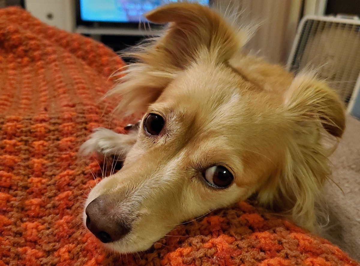 a dog with floppy ears looks up at the camera with big eyes