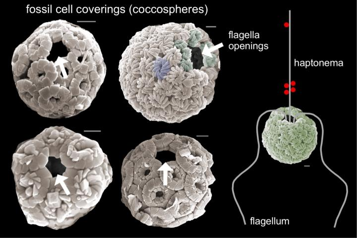 four spherical cells, each with a singular opening. on the right of the four spheres is a diagram that shows how the flagella would operate