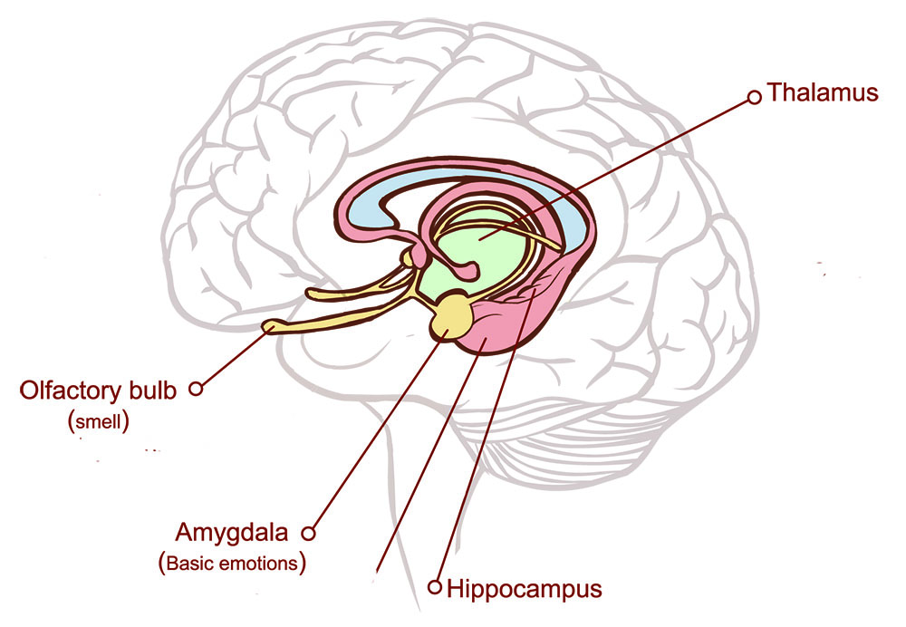 Image of the brain, highlighting the location of the olfactory bulb, amygdala, hippocampus, and thalamus.
