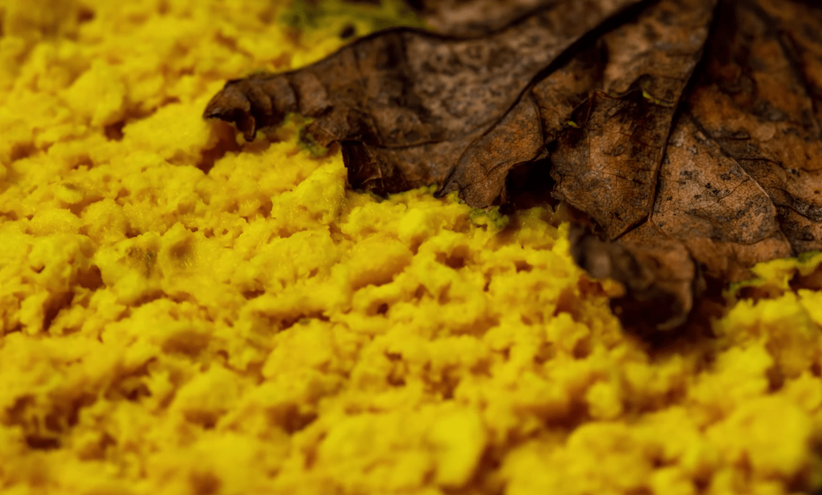 a mat of yellow slime mold in the wild. a brown leaf is seen on top. the slime mold is thick, and looks like scrambled eggs