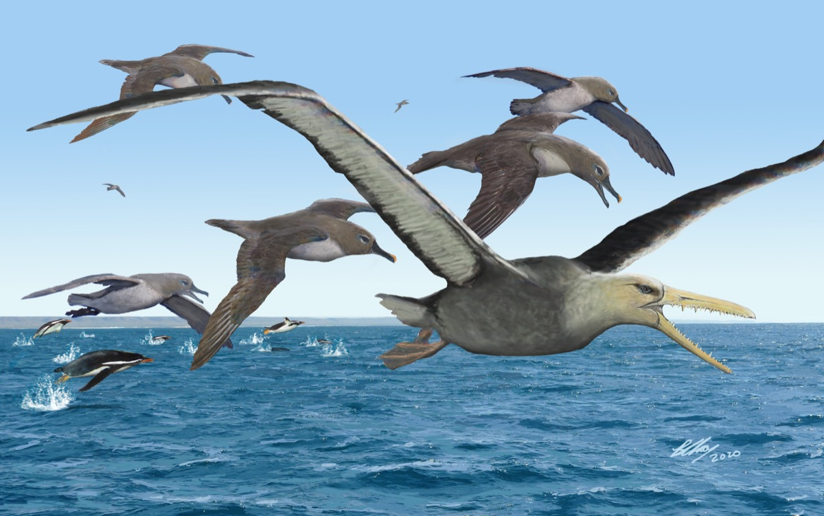an colored illustration of large seagull-looking birds with larger longer beaks with teeth. the flock flies over water
