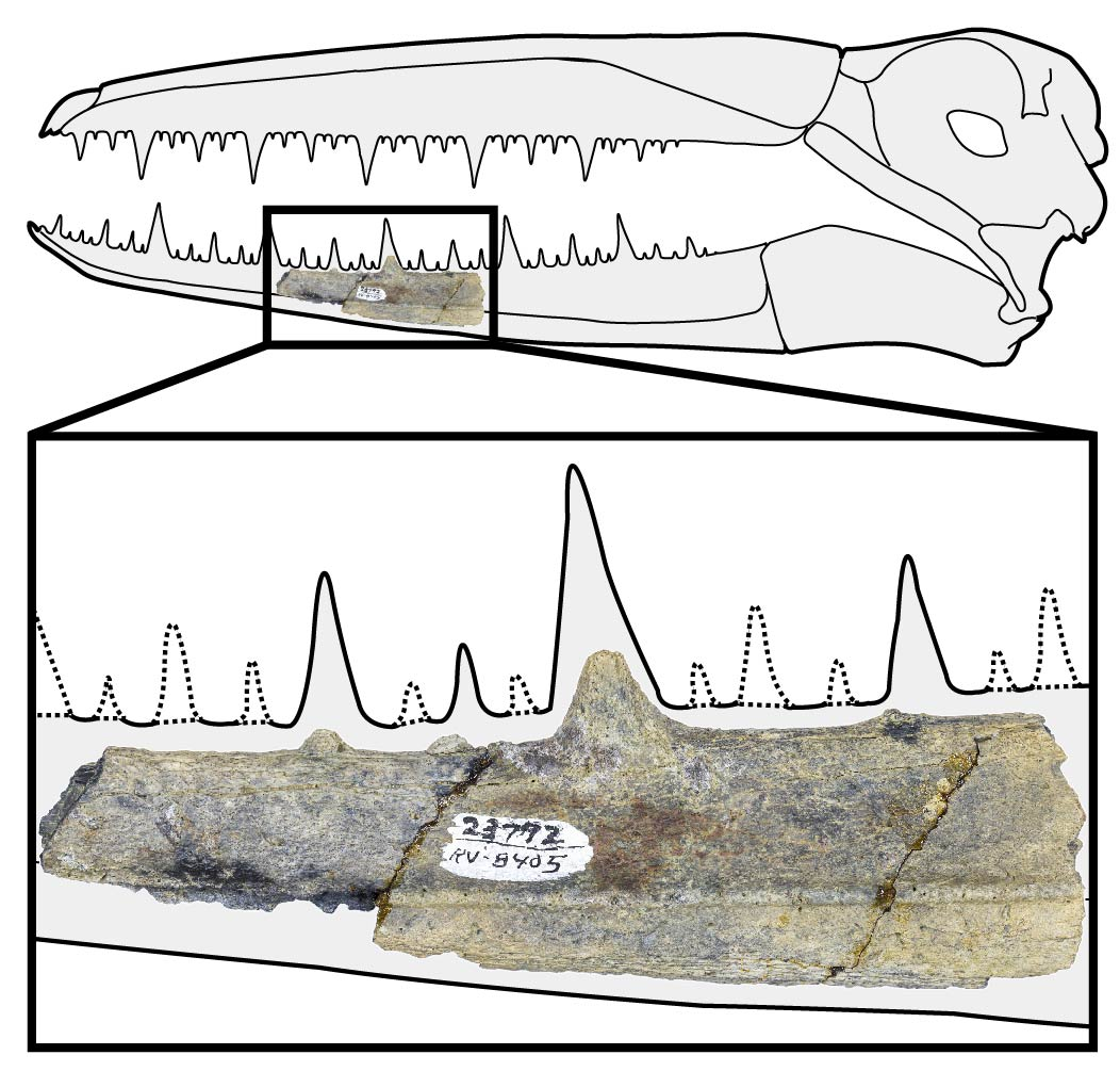 a diagram of a bird skull with teeth and below it a small jaw fossil bone, showing where it would fit in the bottom half of the beak