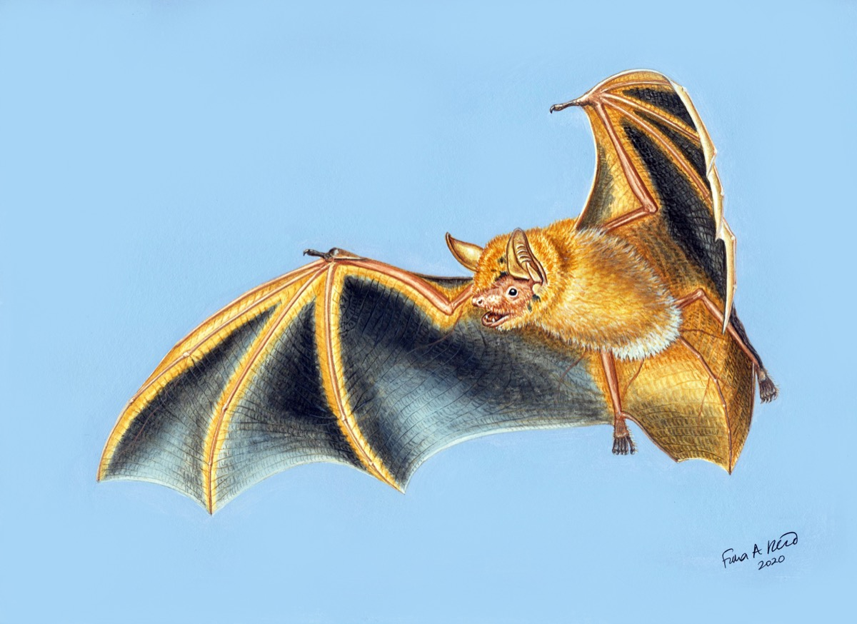 a colored illustration of a light tan, orange bat with its wings stretched in flight