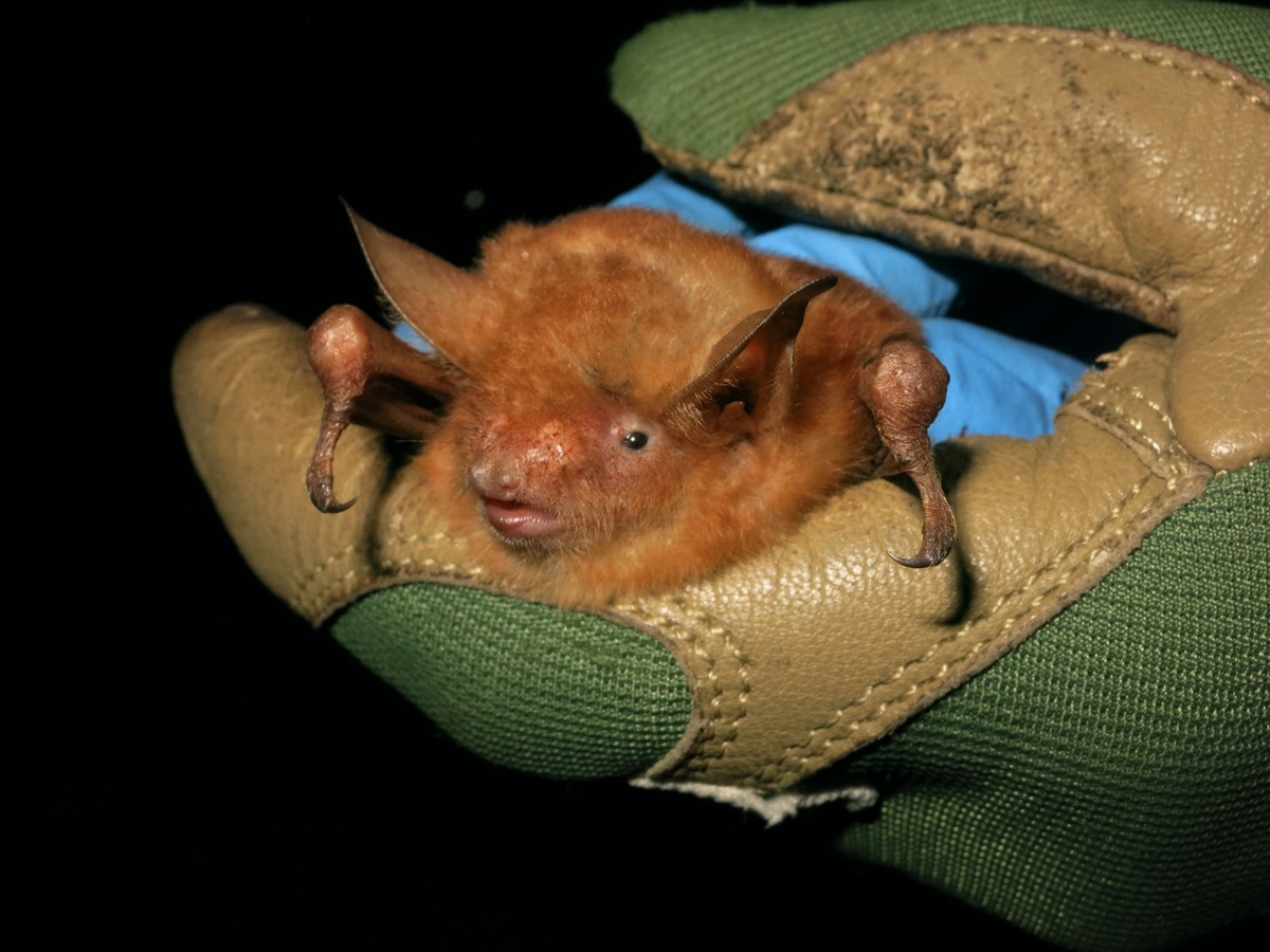 a close up of a bright orange fluffy bat held in gloved hands of a researcher