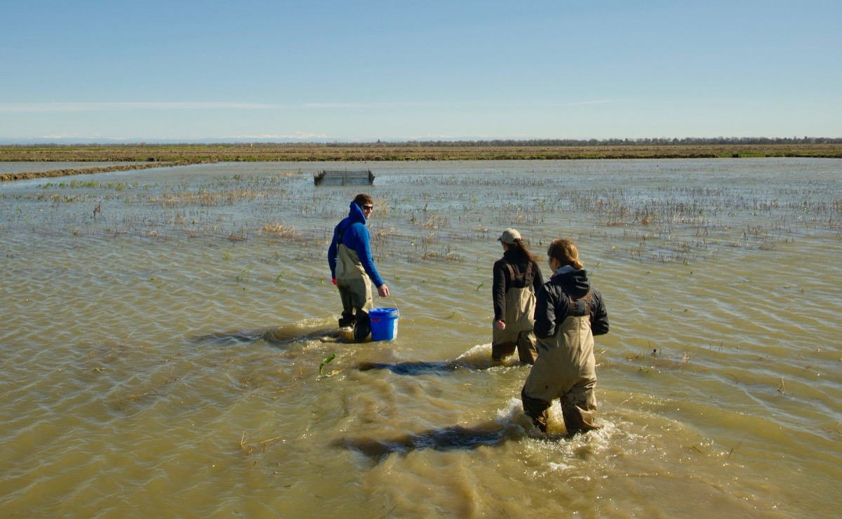 three people in water waders walking in a shallow murky floodplain with buckets and research gear