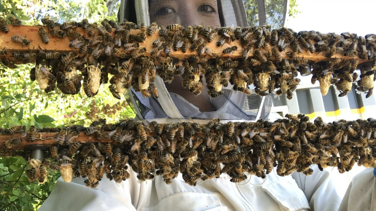 a researcher in a beekeeping outfit stands behind two wooden beams covered in bees and small honey combs