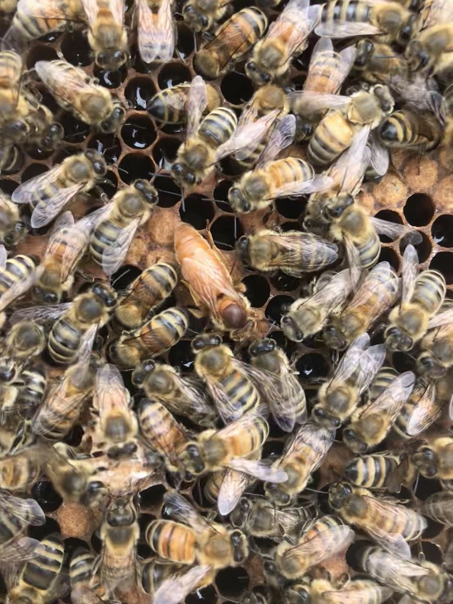 a view of a honeycomb from above that is covered with worker honey bees and a queen bee in the middle. the queen bee has a distinct golden, orange color and is slightly larger than the worker bees