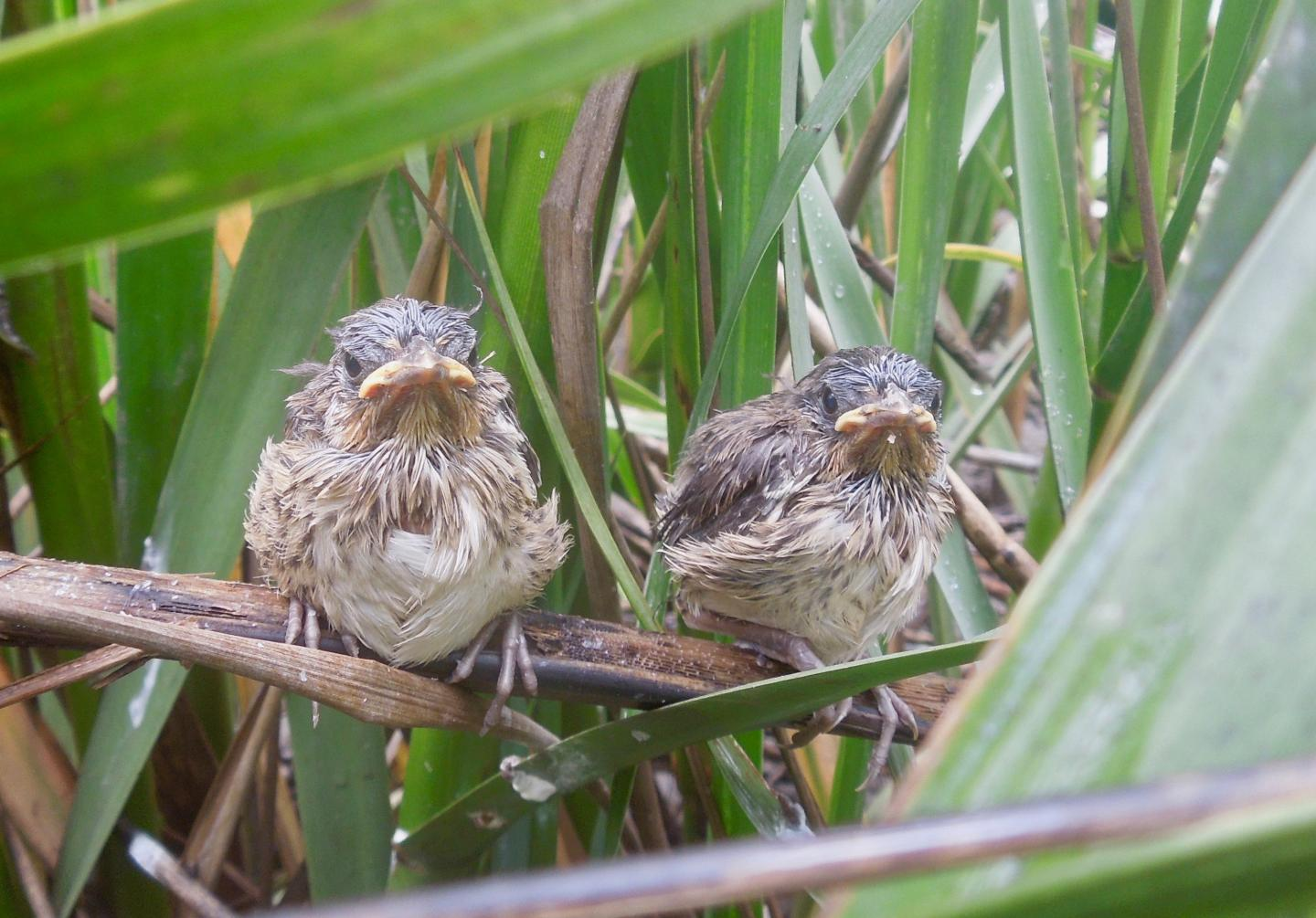 two small birds with feathers that appear slightly damp sit on branches and among blades of grass