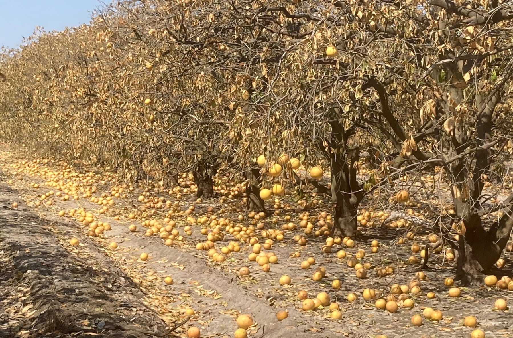 a long row of citrus trees, with dead looking branches and scores of oranges littered on the ground