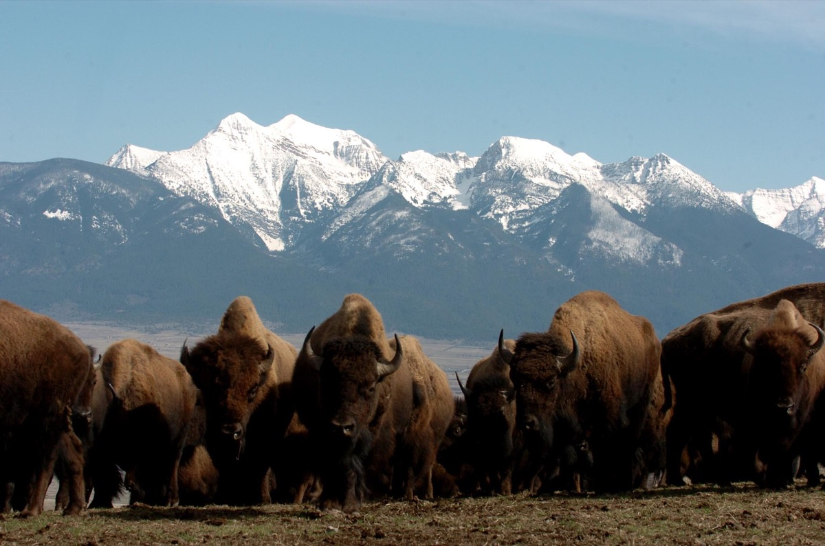 a herd of bison and in the background are snowcapped mountains
