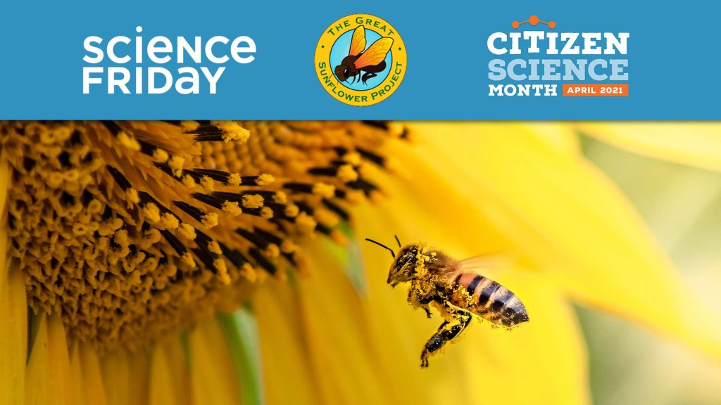a bee with pollen on its face and legs, flying toward the middle of a sunflower, with a banner featuring the logos for science friday, the great sunflower project, and citizen science month april 2021