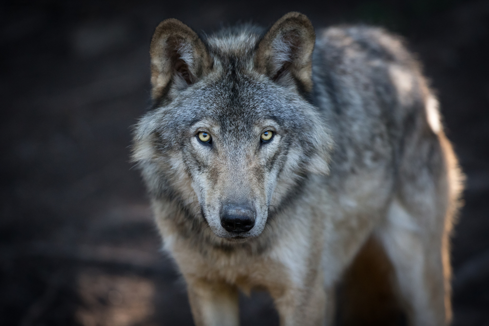 a wolf looking into the camera