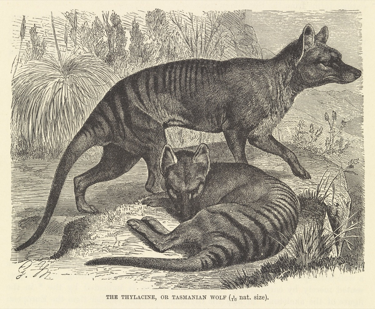 a book print black and white illustration of two dog or wolf like creatures with stripes along their backs