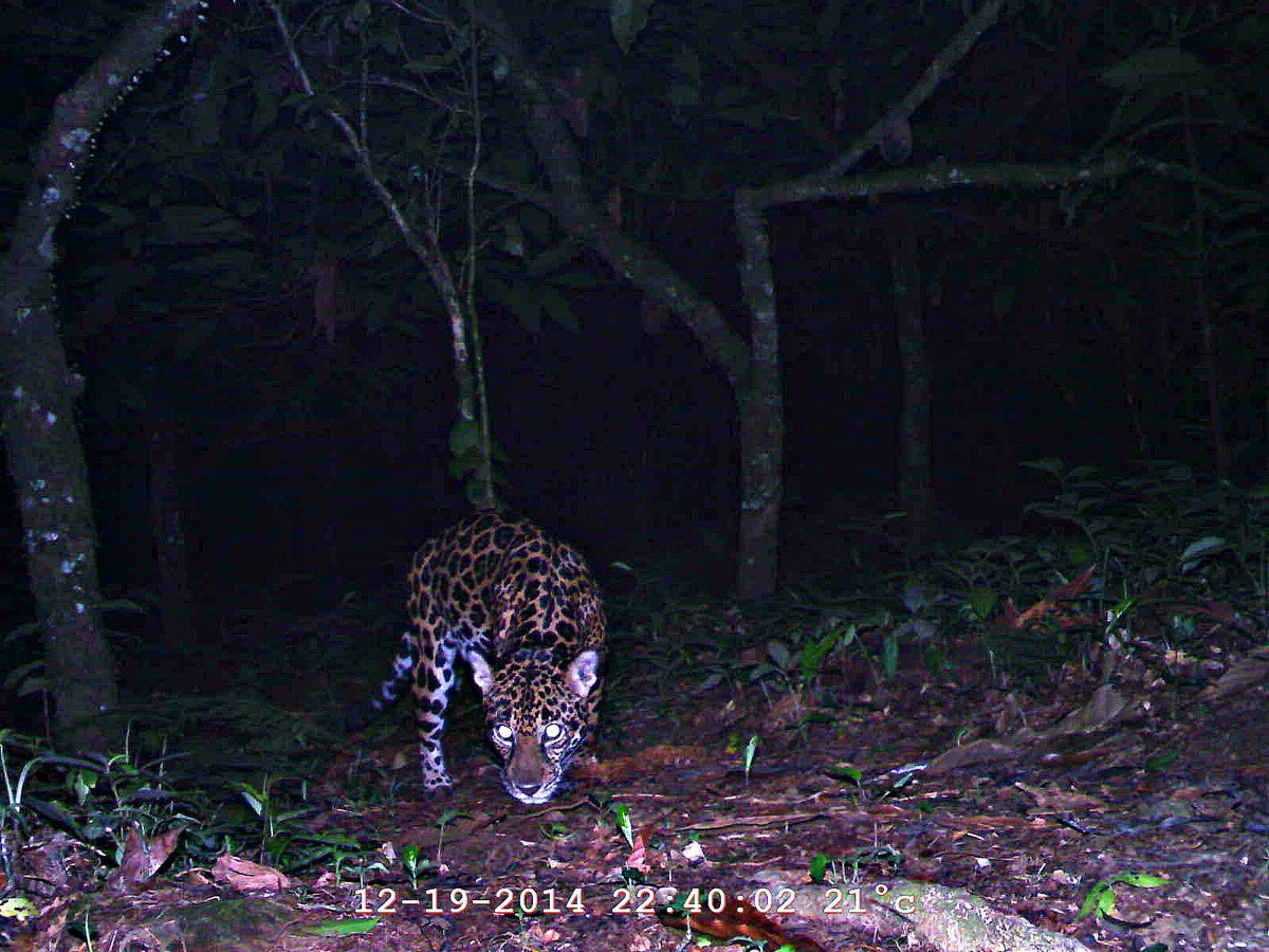 a jaguar caught on film at night bowing its head towards the forest floor