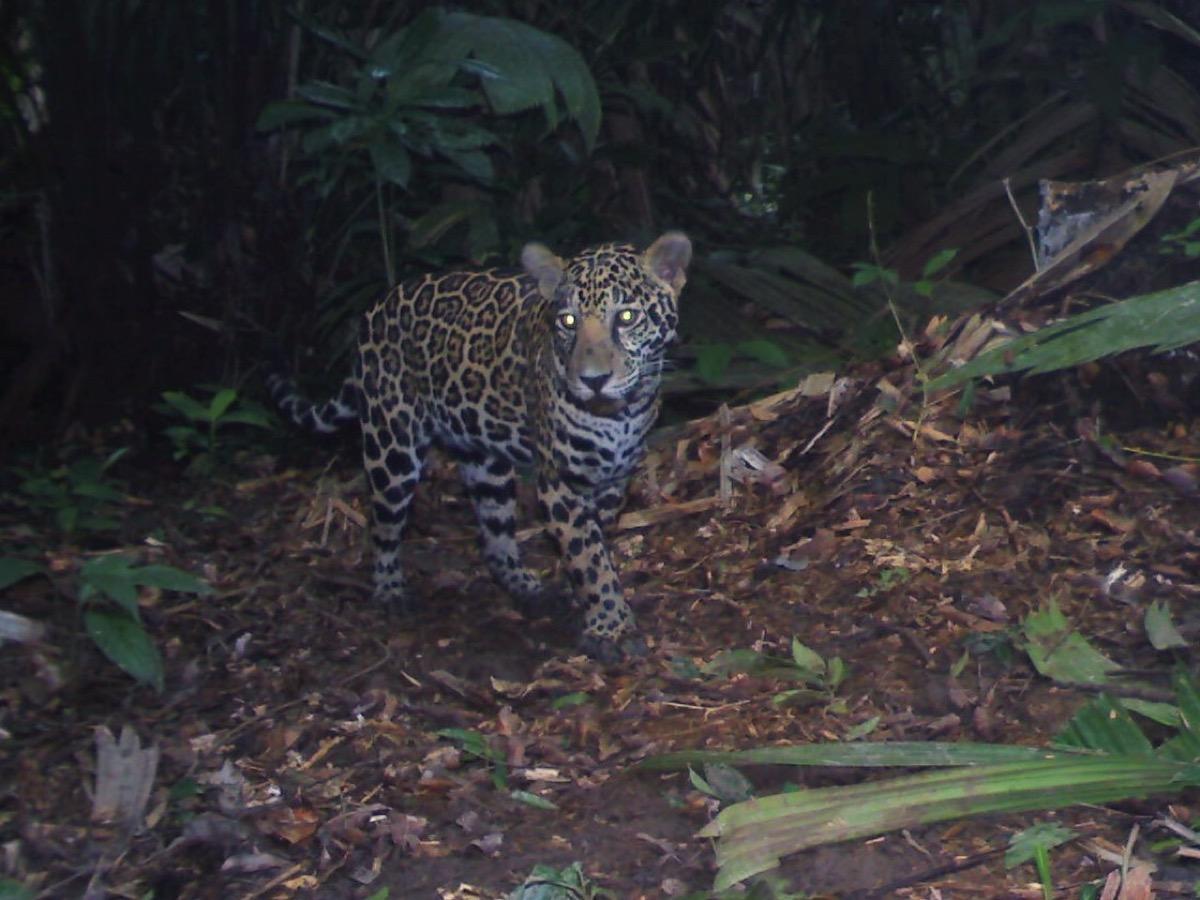 a jaguar in the jungle