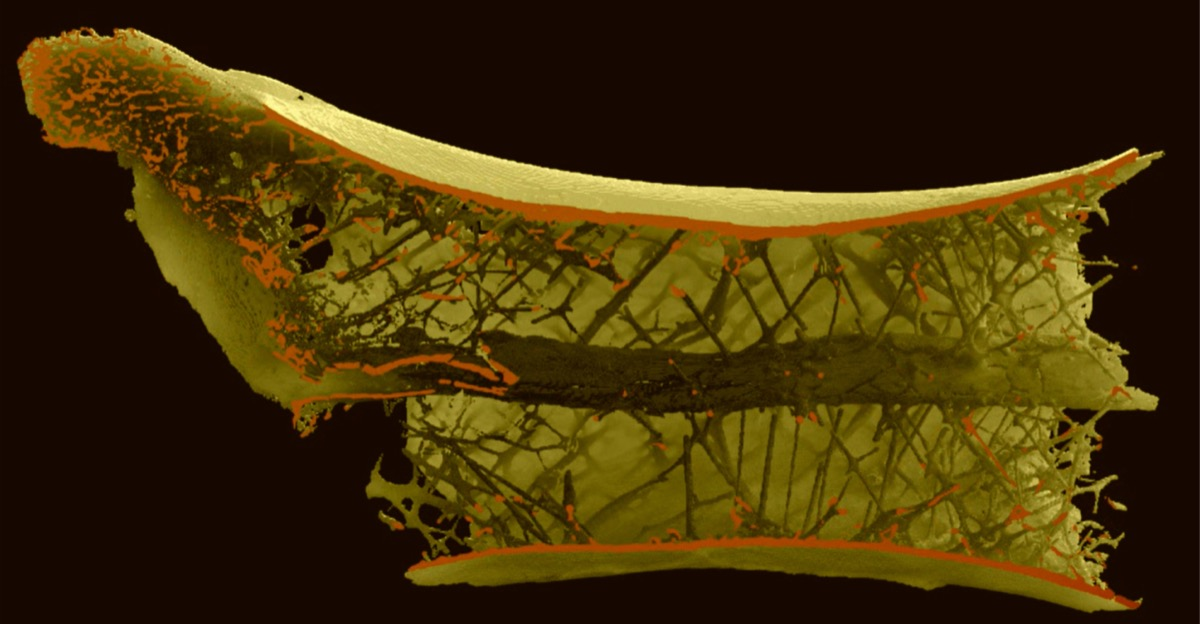 a 3d diagram of a cross section of a dinosaur bone