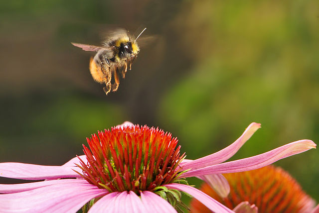 bumble bee hovering above a pink flower