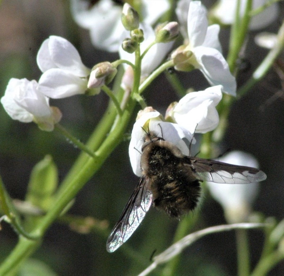 fly hanging on white-petaled flower with its head stuck inside