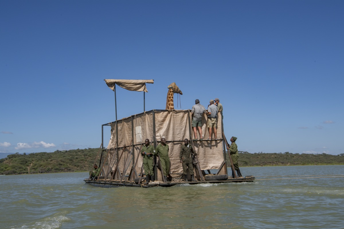a giraffe floating on a barge with scientists monitoring while it gets transported